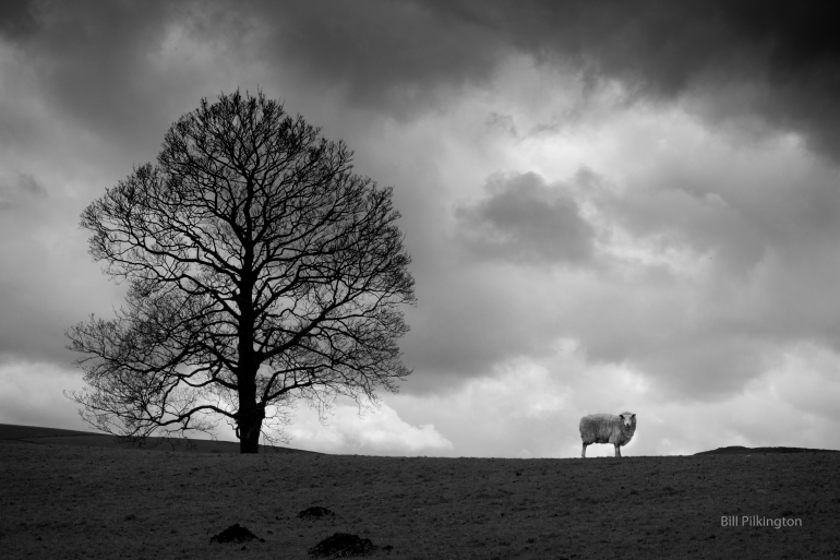 sheep standing near a tree on a cloudy day